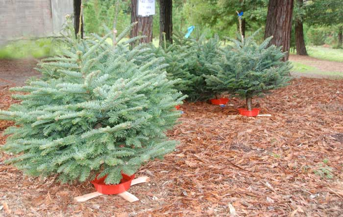 You Ll Find Beautiful Christmas Trees At Little Hills Farm In