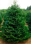 Fresh Cut Turkish Fir