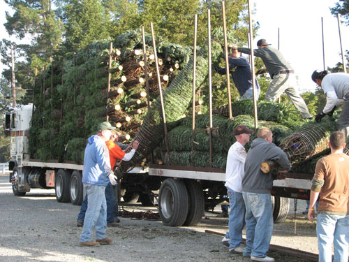 Unloading Fresh Cut Fir Trees